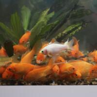 Guldfiske yngel